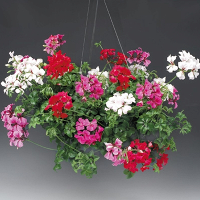 Hanging Baskets versus Children, Pets & Husbands