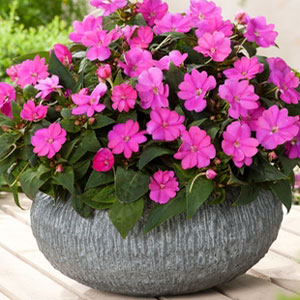 Sunpatiens – The Cross Dresser of the Impatien World