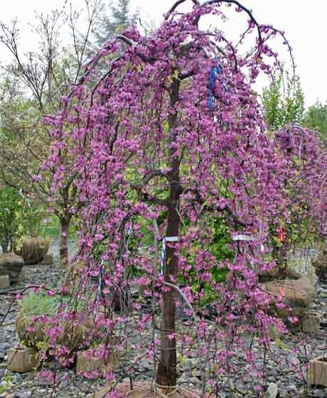 SPECIAL – Weeping Redbud Trees